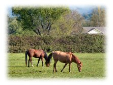 White Dog Ranch, Potter Valley, Mendocino County, two horses grazing